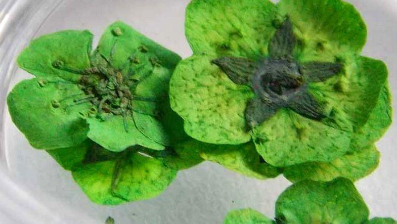 мелколепестковые сухоцветы для ногтей