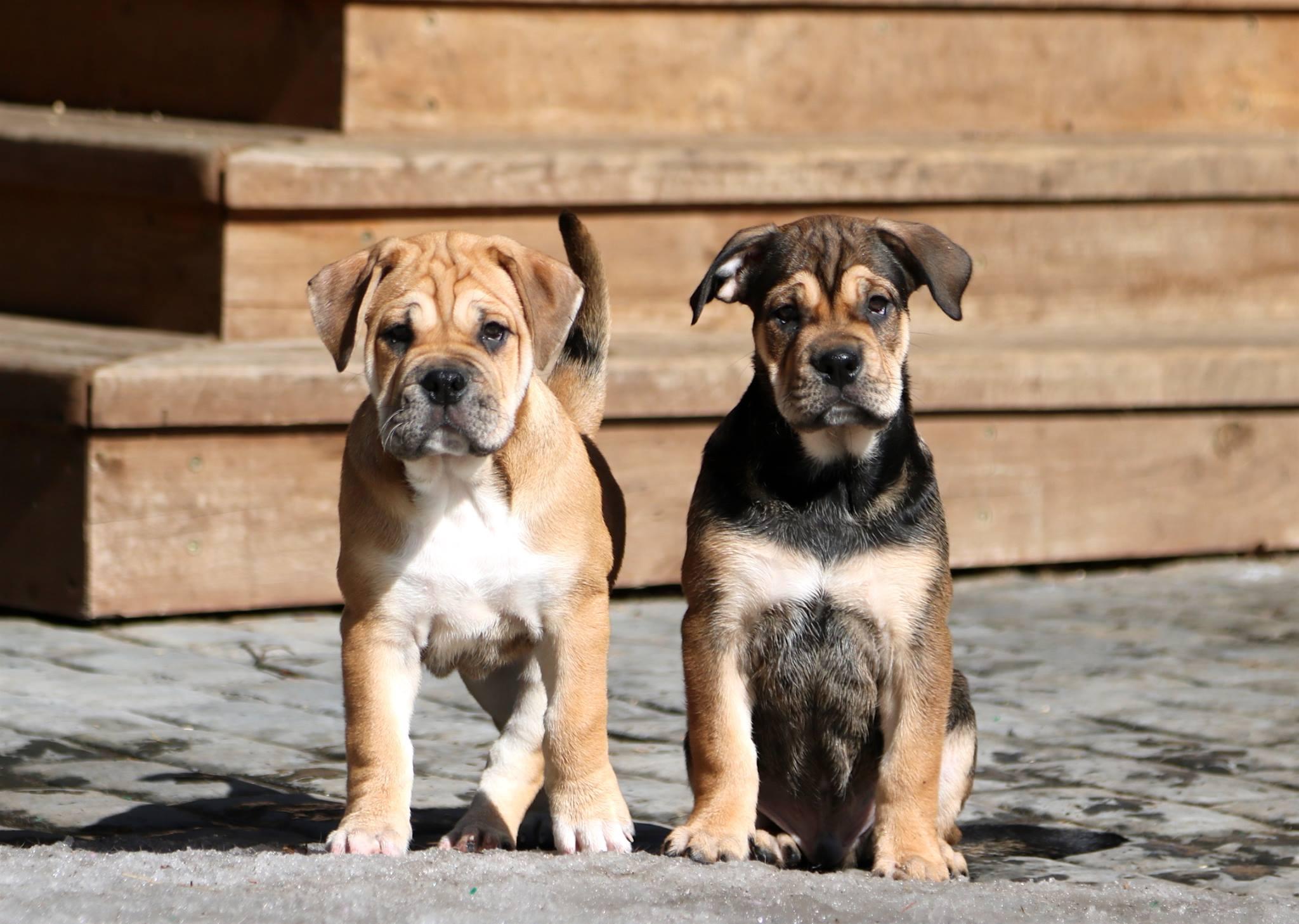 Где купить щенков кадебо через интернет?